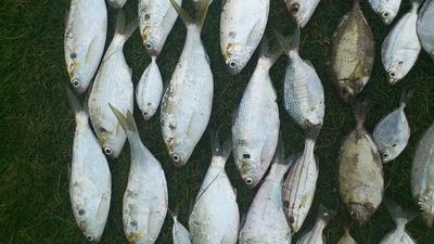 熱田漁港で釣れた魚 アシチン・チヌ・キス2