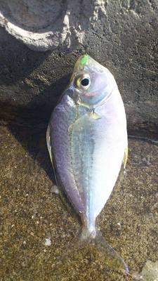 泡瀬漁港で釣れた魚4