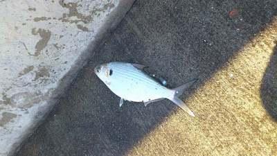 泡瀬漁港で釣れた魚6