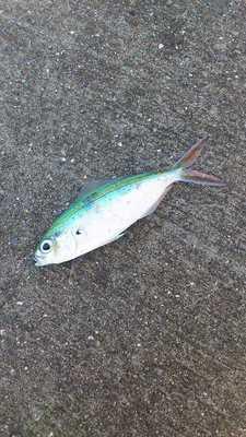 泡瀬漁港で釣れた魚7pg
