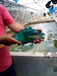 40センチのお魚